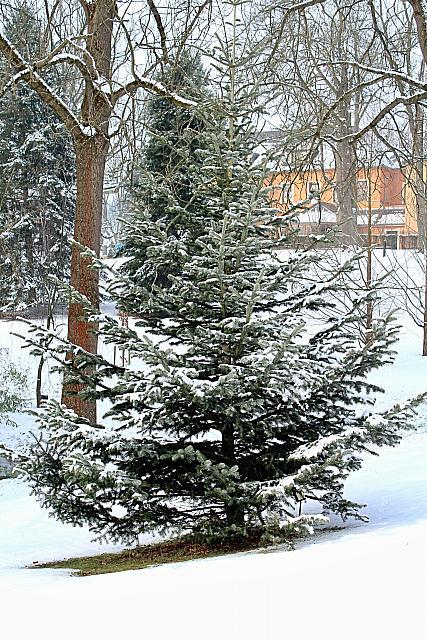 Abies cephalonica - jedle řecká - habitus - zima (98)