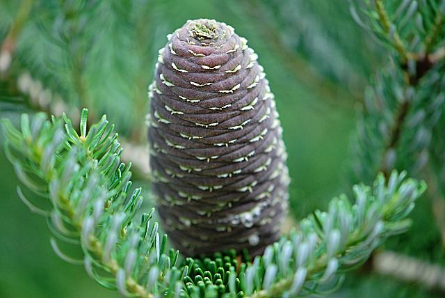Abies koreana 'Briliant' - jedle korejská 'Briliant' - šištice