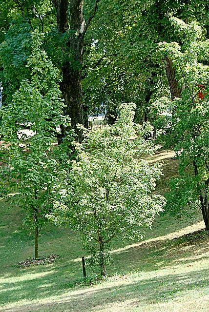 Acer campestre - javor babyka - letní habitus (57)