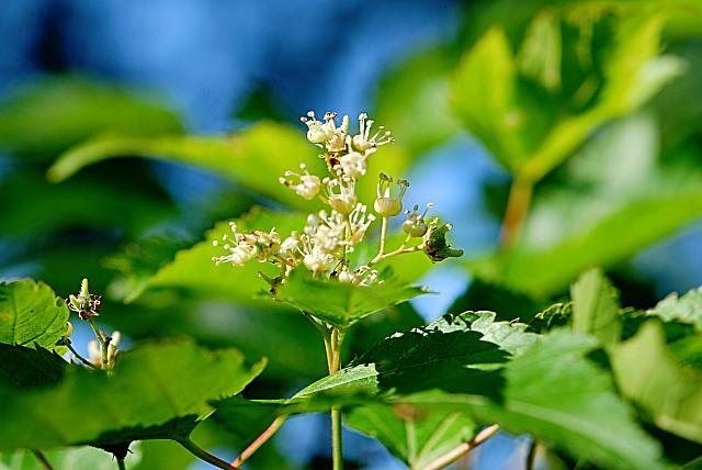 Acer ginnala - javor amurský - květenství (56)