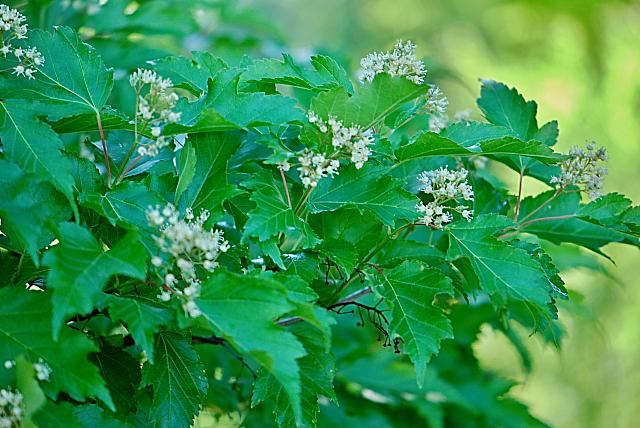Acer ginnala - javor amurský - květenství s listy (56)