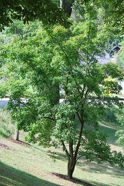 Acer ginnala - javor amurský - letní habitus (56)