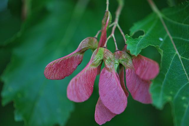 Acer ginnala - javor amurský - plody (nažky) (56)