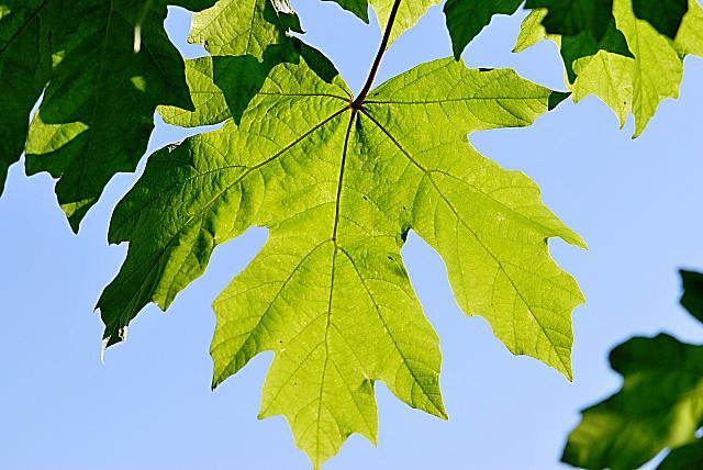 Acer macrophyllum - javor velkolistý - list (59)