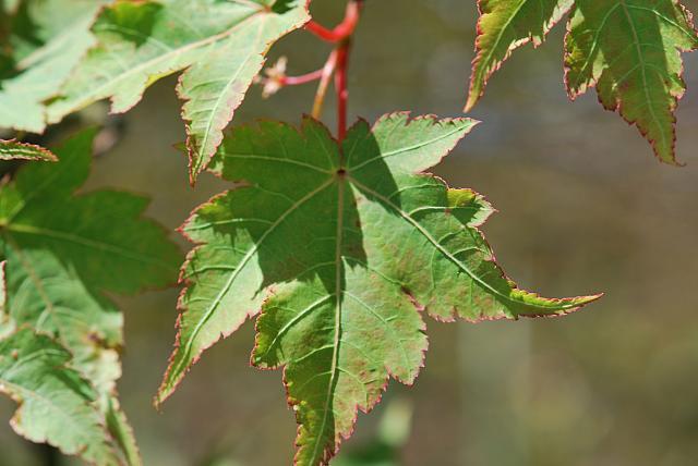 Acer micranthum - javor malokvětý (62)