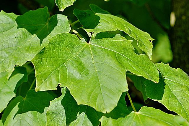 Acer nigrum - javor černý - list (58)