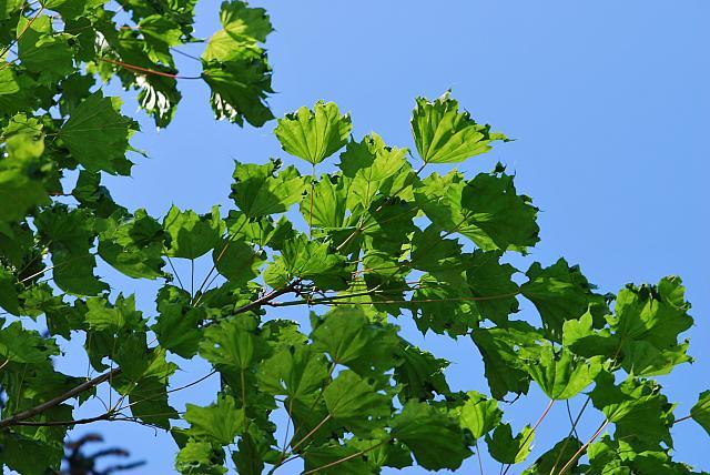 Acer platanoides ´Cucullatum´- javor méč - listy (63)