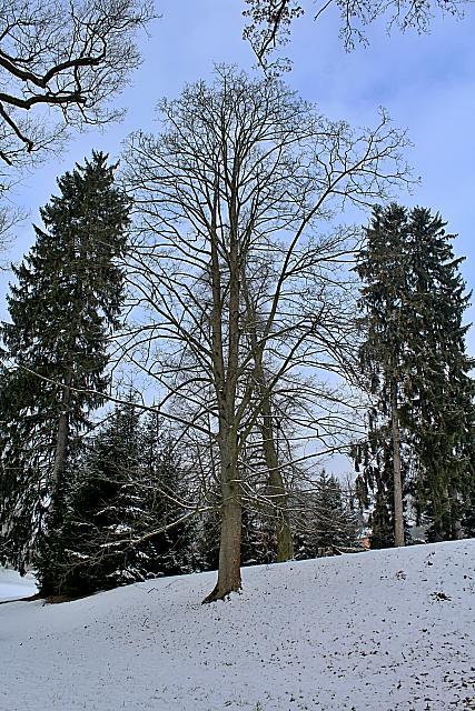 Acer pseudoplatanus - javor klen - zimní habitus (50)