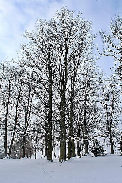 Acer pseudoplatanus - javor klen - zimní habitus (69)