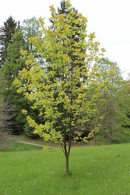 Acer pseudoplatanus 'Worleei' - javor klen - jarní habitus (66)