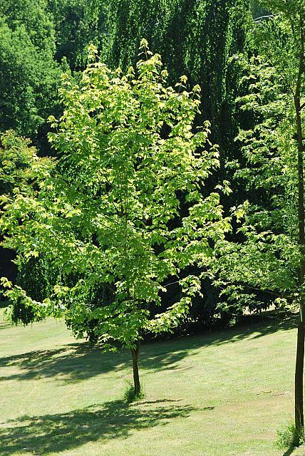 Acer pseudoplatanus 'Worleei' - javor klen - letní habitus (66)