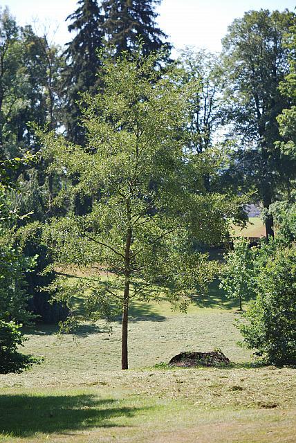Acer saccharinum - javor stříbrný - letní habitus (53)