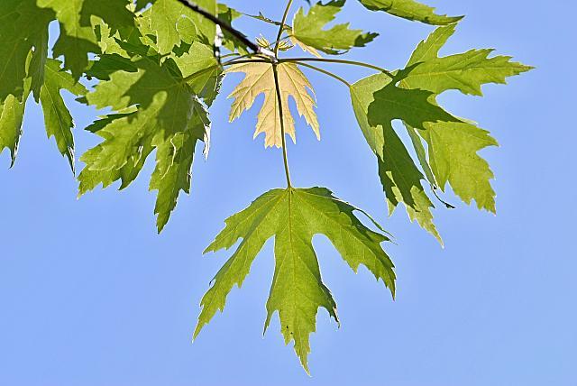 Acer saccharinum - javor stříbrný - listy (53)