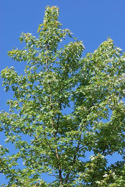 Acer saccharinum - javor stříbrný - vrchol stromu (53)