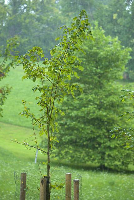 Acer stachyophyllum - javor čtyřčetný - celek