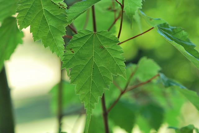 Acer stachyophyllum - javor čtyřčetný - list (68)