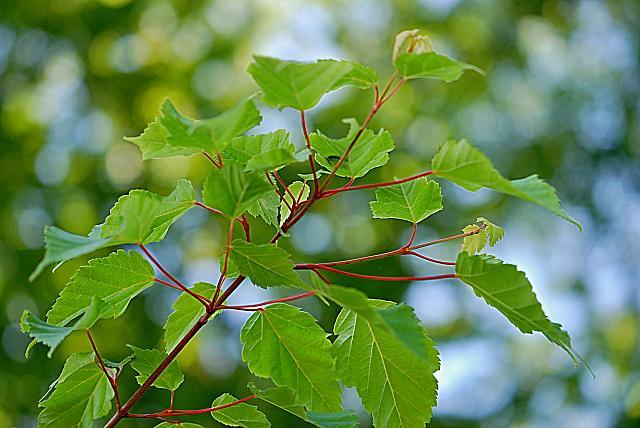 Acer stachyophyllum - javor čtyřčetný - větévka s listy (68)