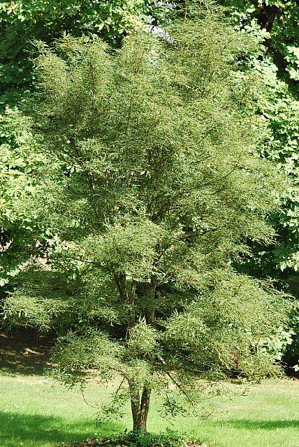 Aesculus hipocastanum ´Laciniata´ - jírovec maďal - letní habitus (40)