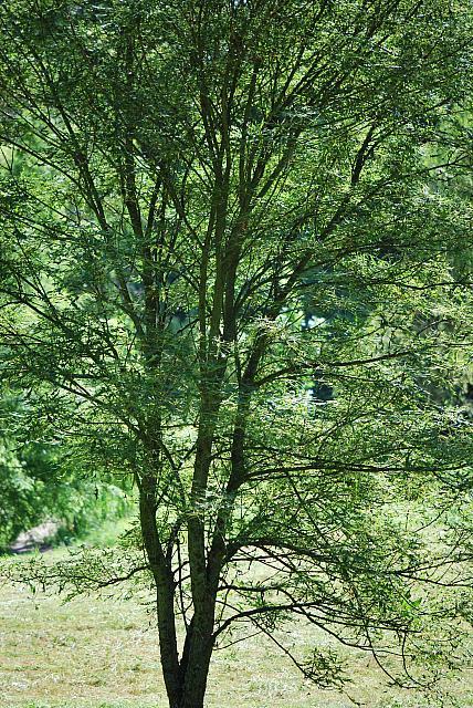 Aesculus hippocastanum ´Laciniata´ - jírovec maďal - letní habitus (40a)