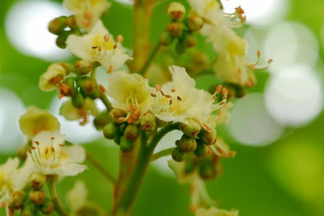 Aesculus hippocastanum - jírovec koňský (maďal) - květ