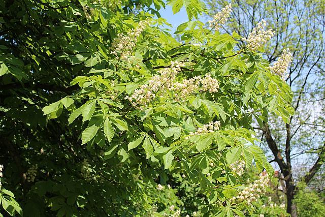 Aesculus hippocastanum - jírovec koňský (maďal) - květenství a listy (41)