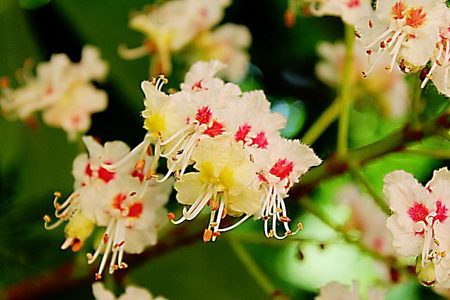 Aesculus hippocastanum - jírovec koňský (maďal) - květy - detail