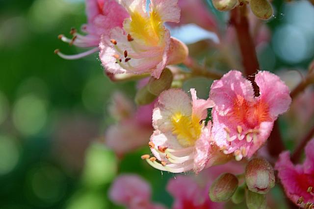 Aesculus x carnea - jírovec pleťový - květ - detail (38)