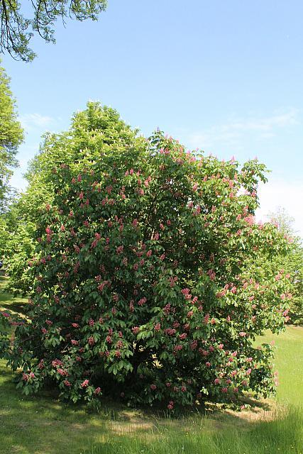 Aesculus x carnea - jírovec pleťový - kvetoucí habitus (38)