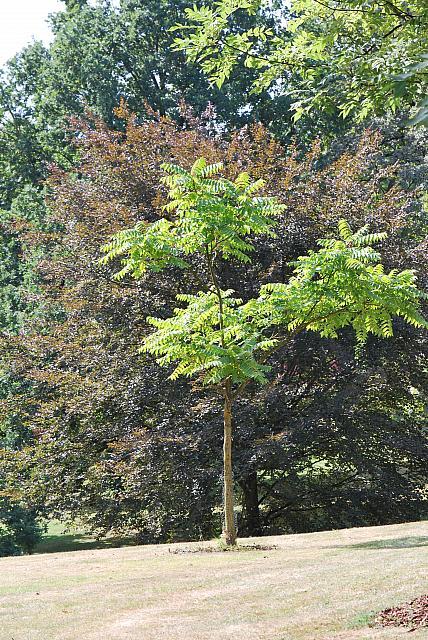 Ailanthus altissima - pajasan žláznatý - letní habitus (81)