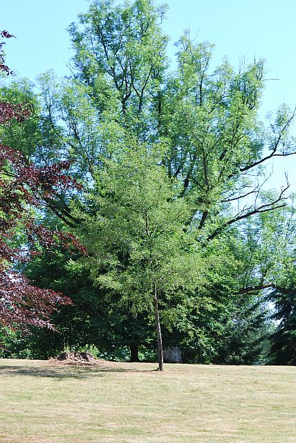 Alnus glutinosa 'Laciniata' - olše lepkavá (82)
