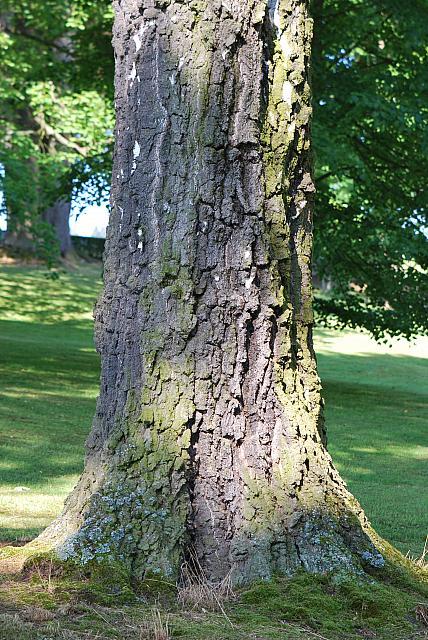Betula pendula - bříza bělokorá - kmen s borkou (80)