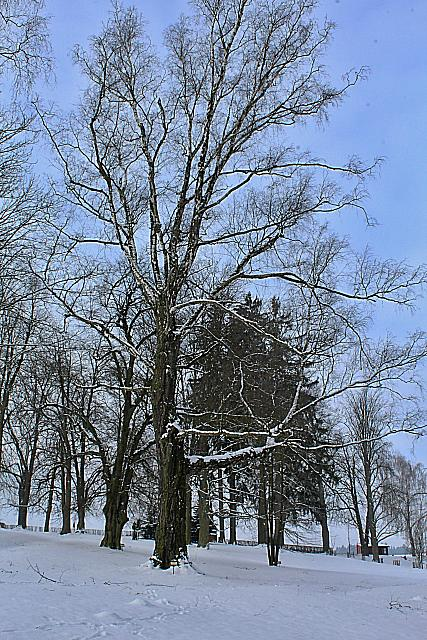 Betula pendula - bříza bělokorá - zimní habitus (80)