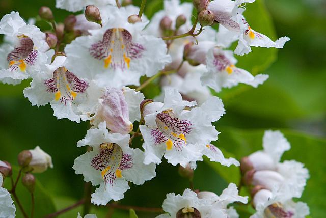 Catalpa bignoides - katalpa obecná, trubačovitá (75) - květ