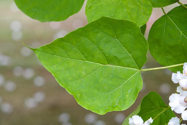 Catalpa bignoides - katalpa obecná, trubačovitá (75) - list