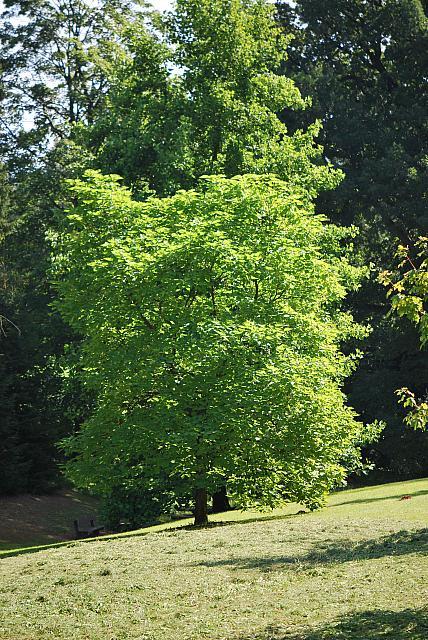 Catalpa bignonioides - katalpa obecná - letní habitus (75)2