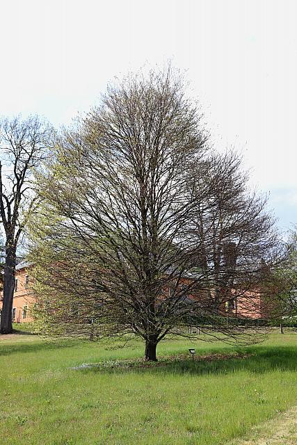 Fagus sylvatica ´Asplenifolia´ - buk lesní - celek (118)