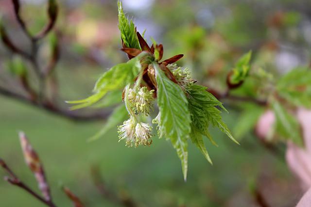 Fagus sylvatica ´Asplenifolia´ - buk lesní - květ (118)