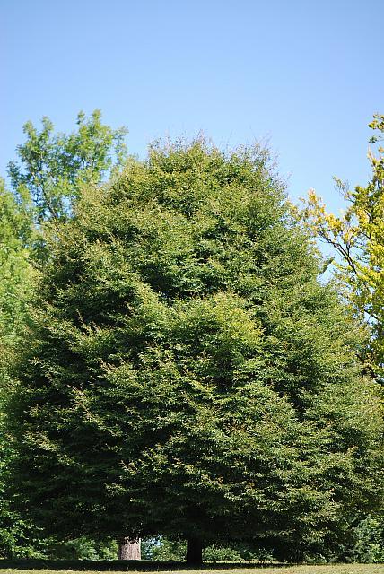 Fagus sylvatica ´Asplenifolia´ - buk lesní - letní habitus (118)
