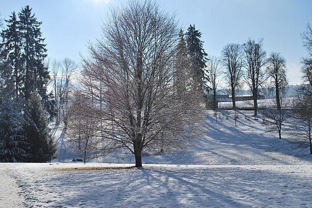 Fagus sylvatica ´Asplenifolia´ - buk lesní - zimní habitus (118)
