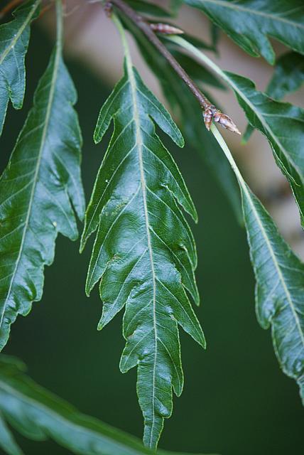 Fagus sylvatica ´Asplenifolia´ - buk obecný, lesní (118) - list
