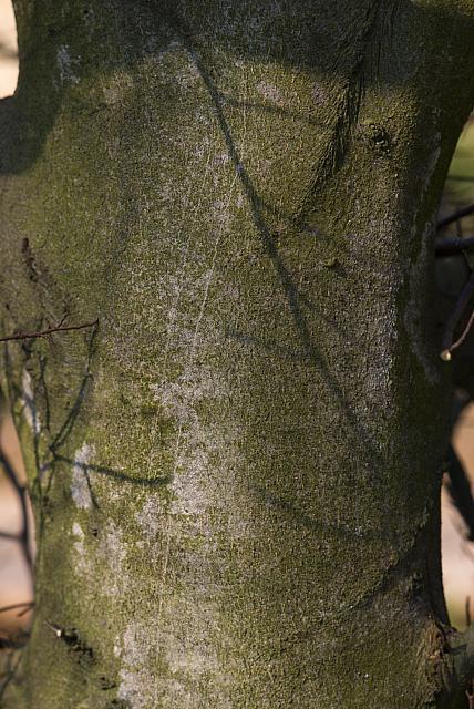 Fagus sylvatica ´Asplenifolia´ - buk lesní - kůra