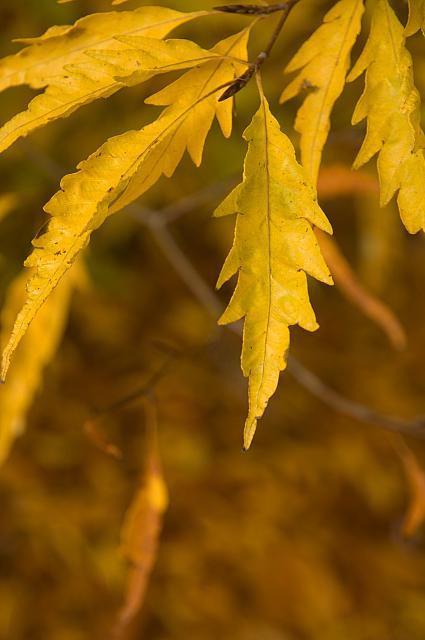 Fagus sylvatica ´Asplenifolia´ - buk lesní - list podzim