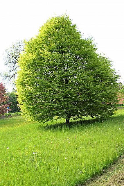 Fagus sylvatica ´Asplenifolia´- buk lesní - jarní habitus (118)