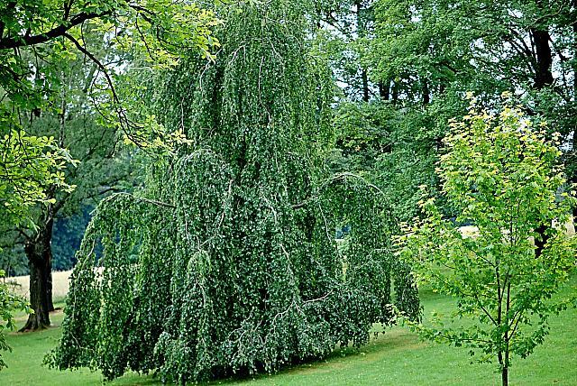Fagus sylvatica ´Pendula´- buk lesní - letní habitus (24)