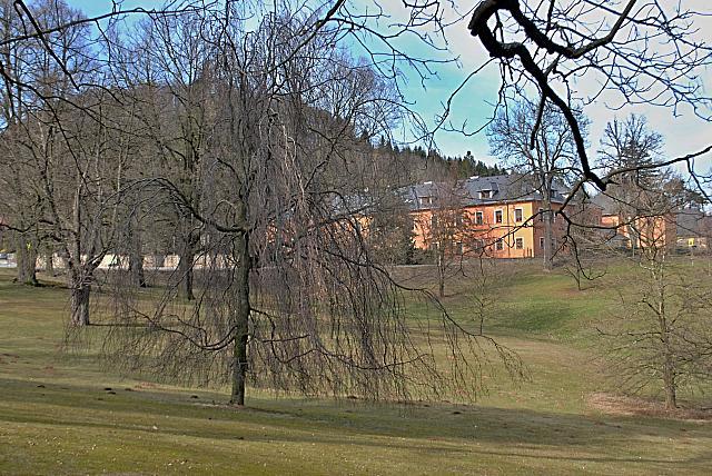 Fagus sylvatica ´Pendula´- buk lesní - zimní habitus (24)