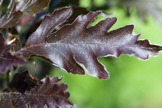 Fagus sylvatica ´Rohanii´ - buk obecný, lesní (22) - list