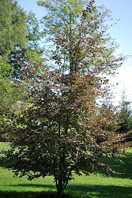 Fagus sylvatica ´Tricolor´ (='Roseomarginata')  - buk lesní - letní habitus (23)
