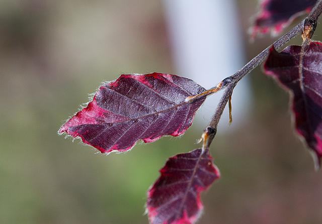 Fagus sylvatica ´Tricolor´(=´Roseomarginata´) - buk lesní - list -