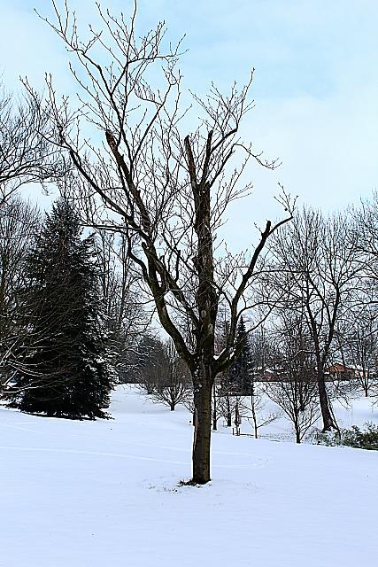 Fagus sylvatica ´Zlatia´ - buk lesní - zimní habitus (21)