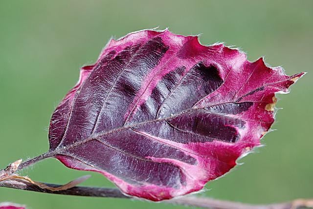 Fagus sylvatica ´Tricolor´- buk lesní - list (117)